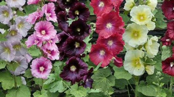 Hatmi Çiçeği Faydaları Nelerdir? Hatmi Çiçeği Yağı Ve Çayı Neye İyi Gelir?