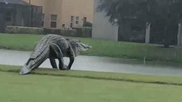 Devasa timsah Florida'daki golf sahasına girdi