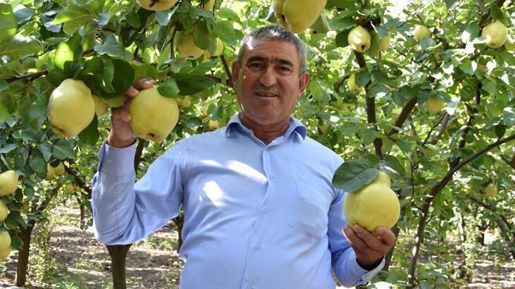 Antalya'da ayvadaki verim üreticinin yüzünü güldürdü