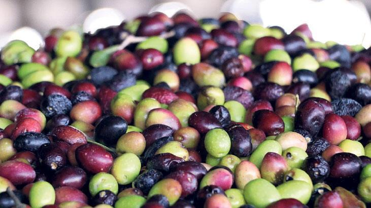 Zeytin ihracatının yüzde 60'ı 3 ülkeye