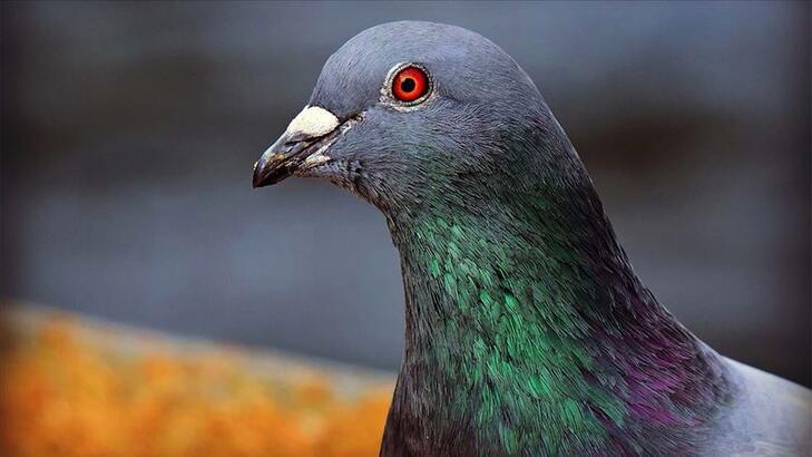 Belçika'da 1,6 milyon euroya güvercin satıldı