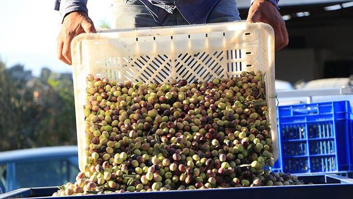 Marmaris'te zeytin hasadına başlandı