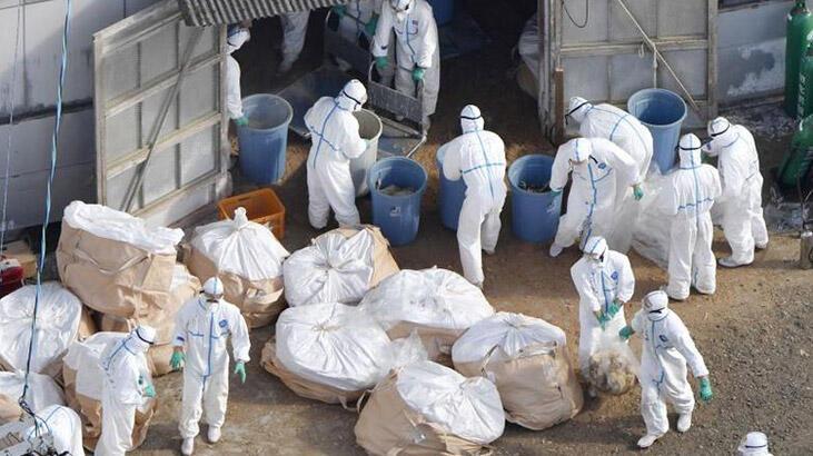 Japonya'da kuş gribi salgını yayılıyor