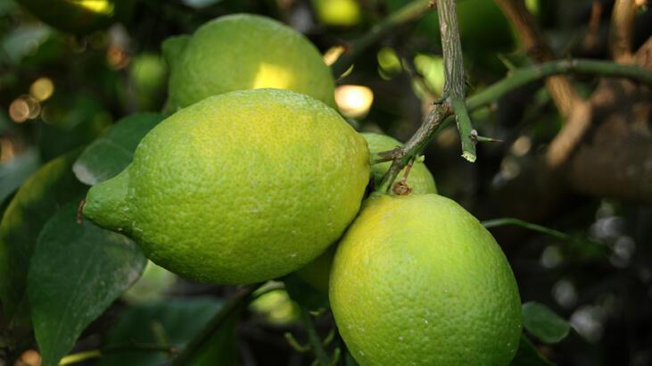 Mersin'de Lamas limonu hasadına başlandı