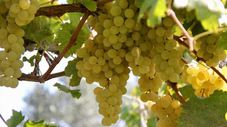 İznik'in Müşküle üzümünün üretimi artırılacak