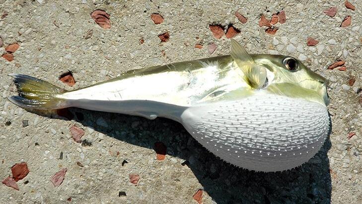 Balon balığı avcılığı için kuyruk başına 5 lira destek ödenecek