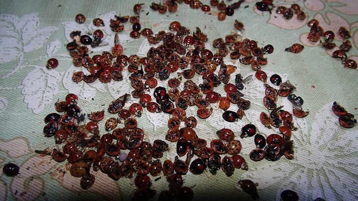 Mahalleleri bastılar! Rize'de yüzlerce böcek...
