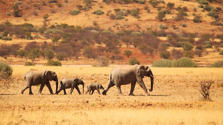 Kuraklık yüzünden 170 fil açık artırmaya çıkarılıyor