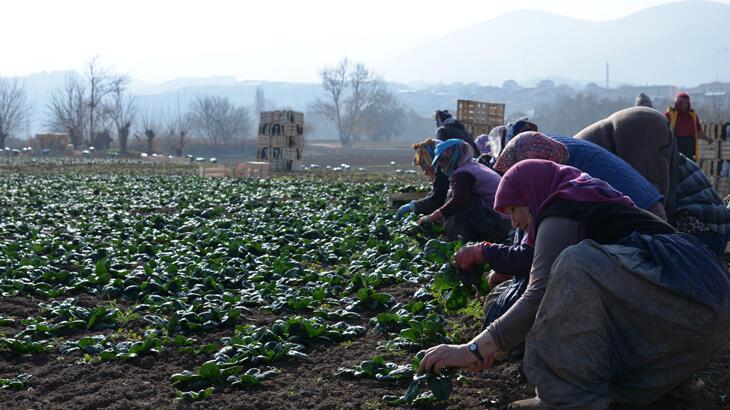 Osmaneli'de kış sebzesi hasadı günlük 300 işçiye ekmek kapısı oluyor