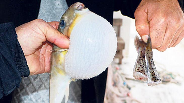 Zehirli balon balığı döviz kapısı oluyor