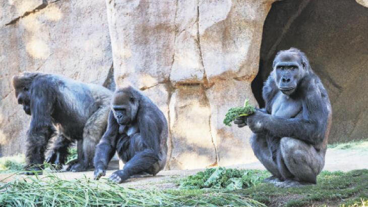 İlk kez gorillere bulaştı