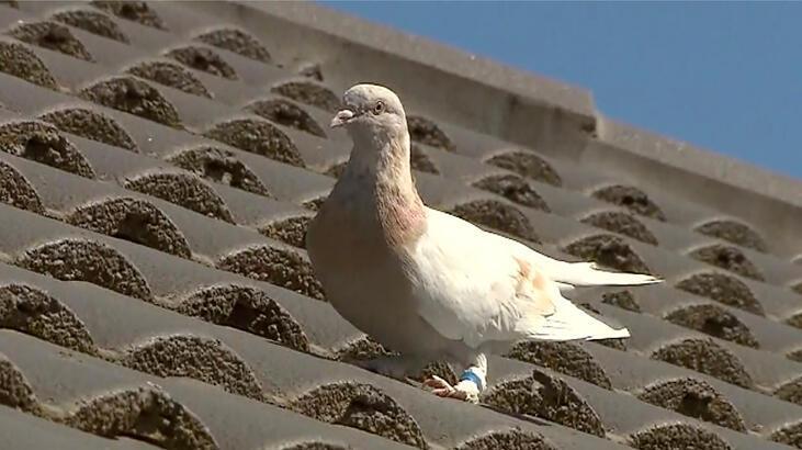 Dünya, Pasifik'i geçip ABD'den Avustralya'ya uçan güvercini konuşuyor