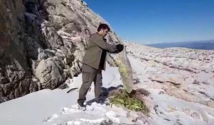 Karlı dağın zirvesine yaban hayvanları için yem bıraktılar