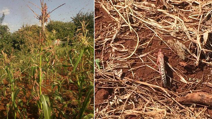 Kenya'da çekirge sürüleri 47 ilçenin 15'ini işgal etti