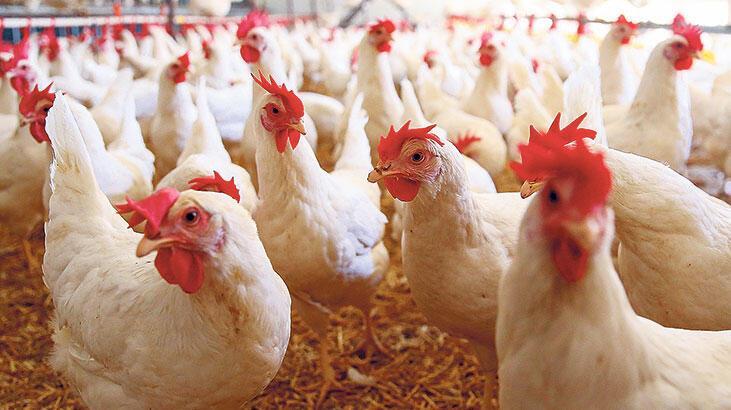 Bakanlık GDO'lu tavuk yemine onay verdi