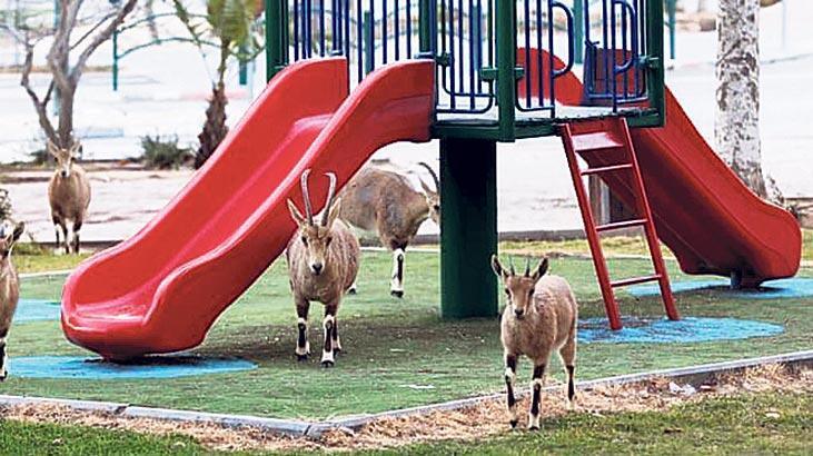 Keçiler parkta