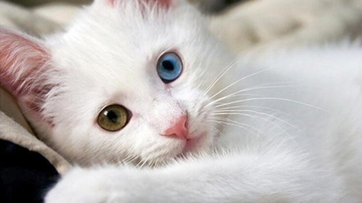 Kedi Cinsleri Ve İsimleri Nelerdir? Kedilerin Türleri İle Özellikleri