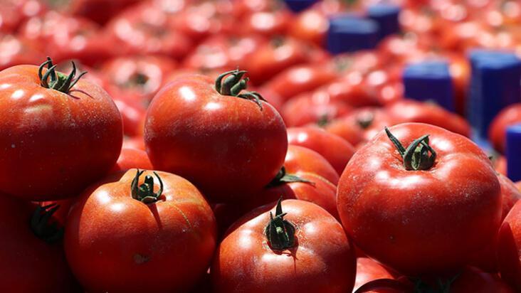Çanakkale domatesi ne zaman çıkacak?