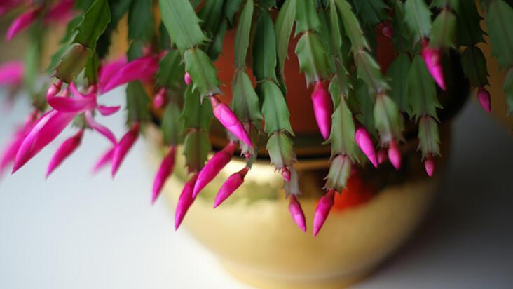 Fazla bakım istemeyen evinize renk katacak 10 bitki