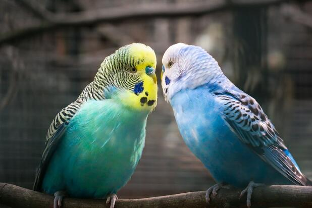Muhabbet Kuşu Cinsleri ve Özellikleri Nelerdir? Muhabbet Kuşu Türleri ve Renkleri