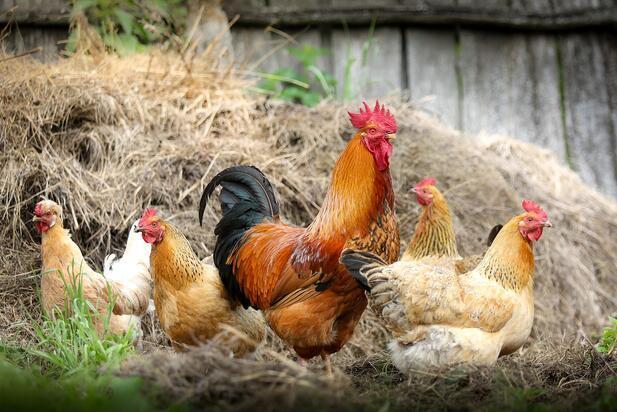 Tavuk Cinsleri ve Özellikleri Nelerdir? Tavuk Çeşitleri ve İsimleri