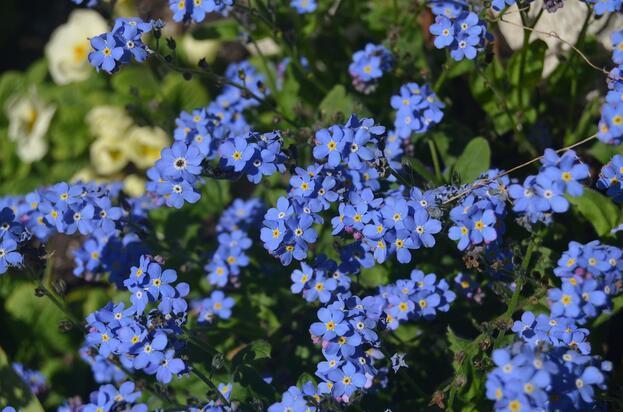 Unutmabeni Çiçeği Hikayesi ve Anlamı Nedir? Unutmabeni Çiçeği Nasıl Yetiştirilir?