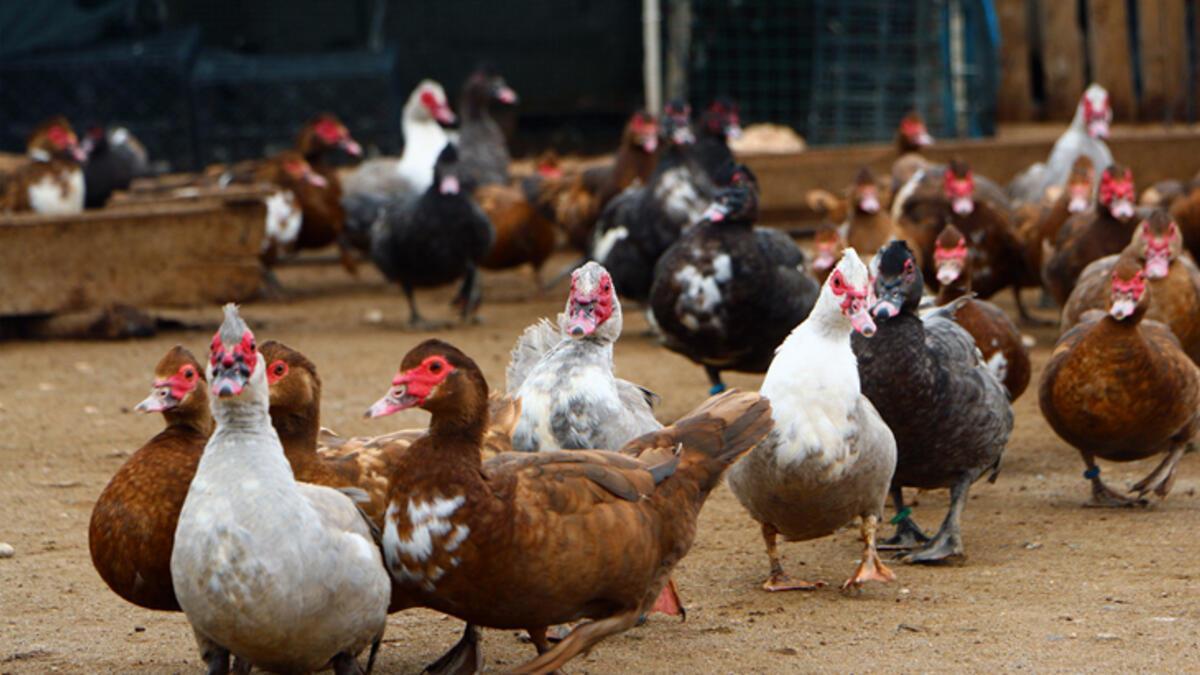 Ördek Ve Eti Nasıl Pişirilir? Portakallı Ördek Nasıl Yapılır? - Yemek  Tarifleri