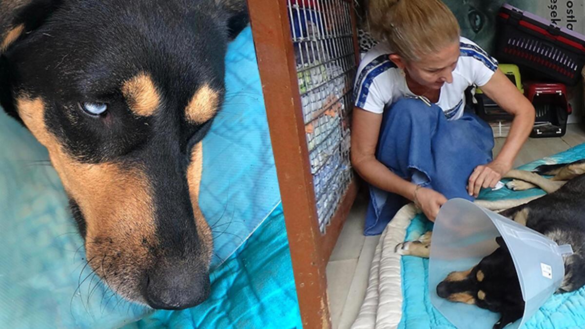 Köpeğin vajinasındaki el feneri ameliyatla çıkarıldı