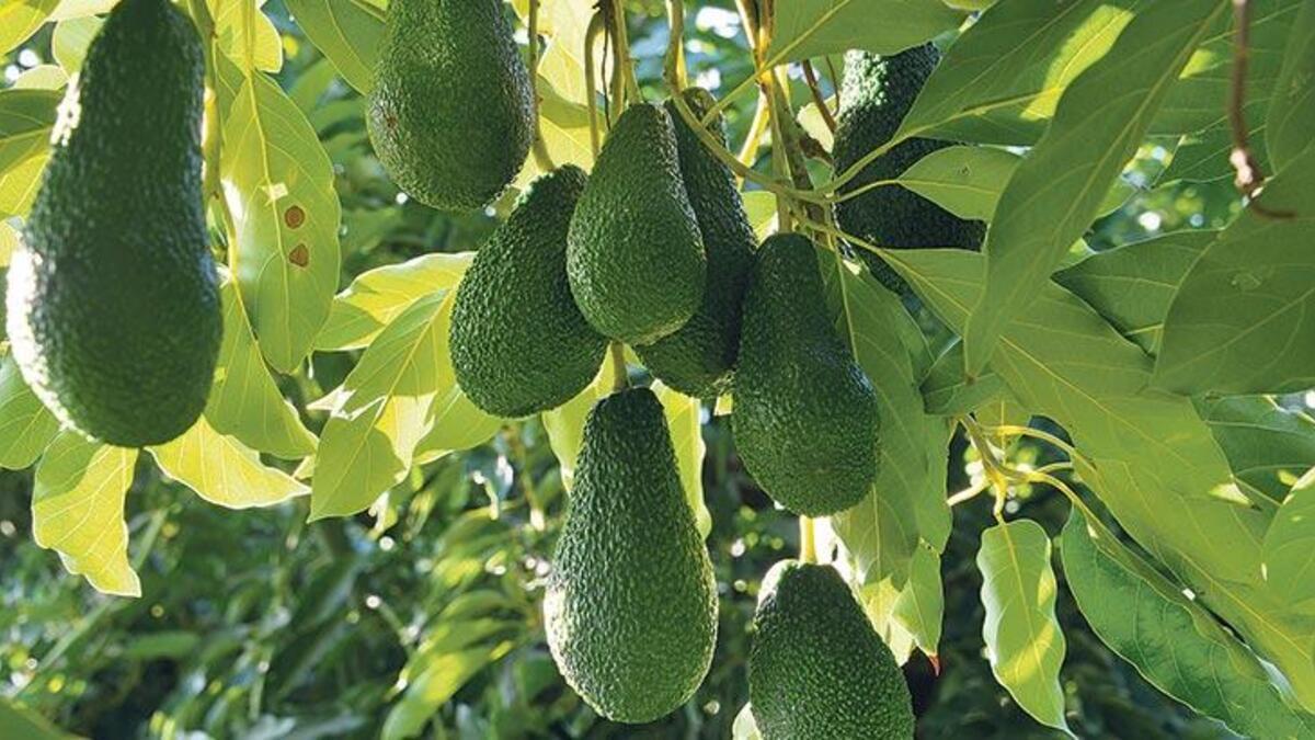 Antalya'dan Bulgaristan'a avokado ihracatı