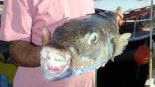 5 kiloluk balon balığı ağa takıldı