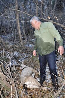 Yaralı dağ keçisi kurtarılırken telef oldu