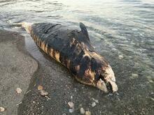Gagalı balina ölüsü Antalya'da karaya vurdu