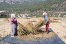 'Suşi'nin susamı Muğla'dan gidiyor