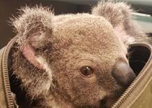 Sırt çantasında yavru koala çıktı