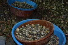 Sinop'tan Uzakdoğu'ya 550 ton deniz salyangozu ihraç edildi