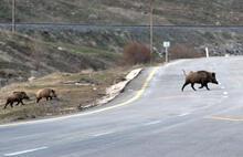 Kars'ta domuz sürüsü görüntülendi