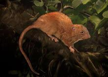 Ağaçta yaşayan dev sıçan bulundu! Boyu 45 santimetre...