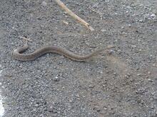 Engerek yılanları köylülerin korkulu rüyası oldu