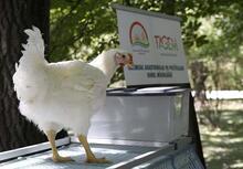 Yerli tavuk Anadolu T tanıtıldı