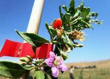 Mutluluk meyvesi goji berry Van'da üretildi