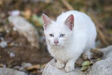 Van'da gözleri iki renkli olan kedi