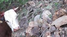 Rüzgar ve fırtınadan korkan inekler uçuruma düştü! Bir tek o sağ kaldı