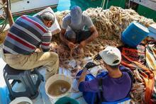 Balon balığı, balıkçının ekmek kapısı olacak