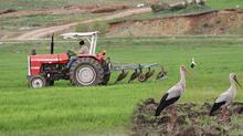 Traktörün peşine takılan leyleklerin solucan, fare ve böcek avı