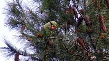 Avcılar'da şaşırtan görüntü! Ağaçlar papağanla doldu