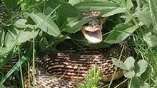 Son dakika...3 metrelik yılan köylüleri korkuttu!