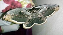 Kelebeğin uzunluğunu gören hayran kaldı