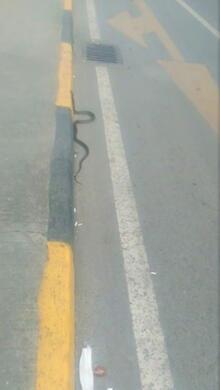Trabzon'da yılan paniği! Saldırgan hali vardı