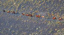 Yılkı atları drone ile görüntülendi