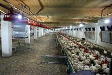 20 bin tavuk telef oldu, aileyi üzüntüye boğuldu